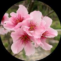 Cherry桃桃