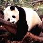 熊貓愛睡覺